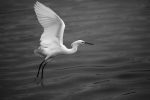 Great white egret, Byong-Ho Kim, USA. 2011